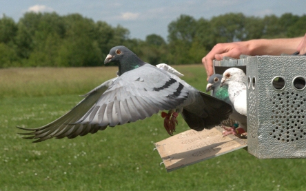 Pigeon Carrier-crimeshop.jpg